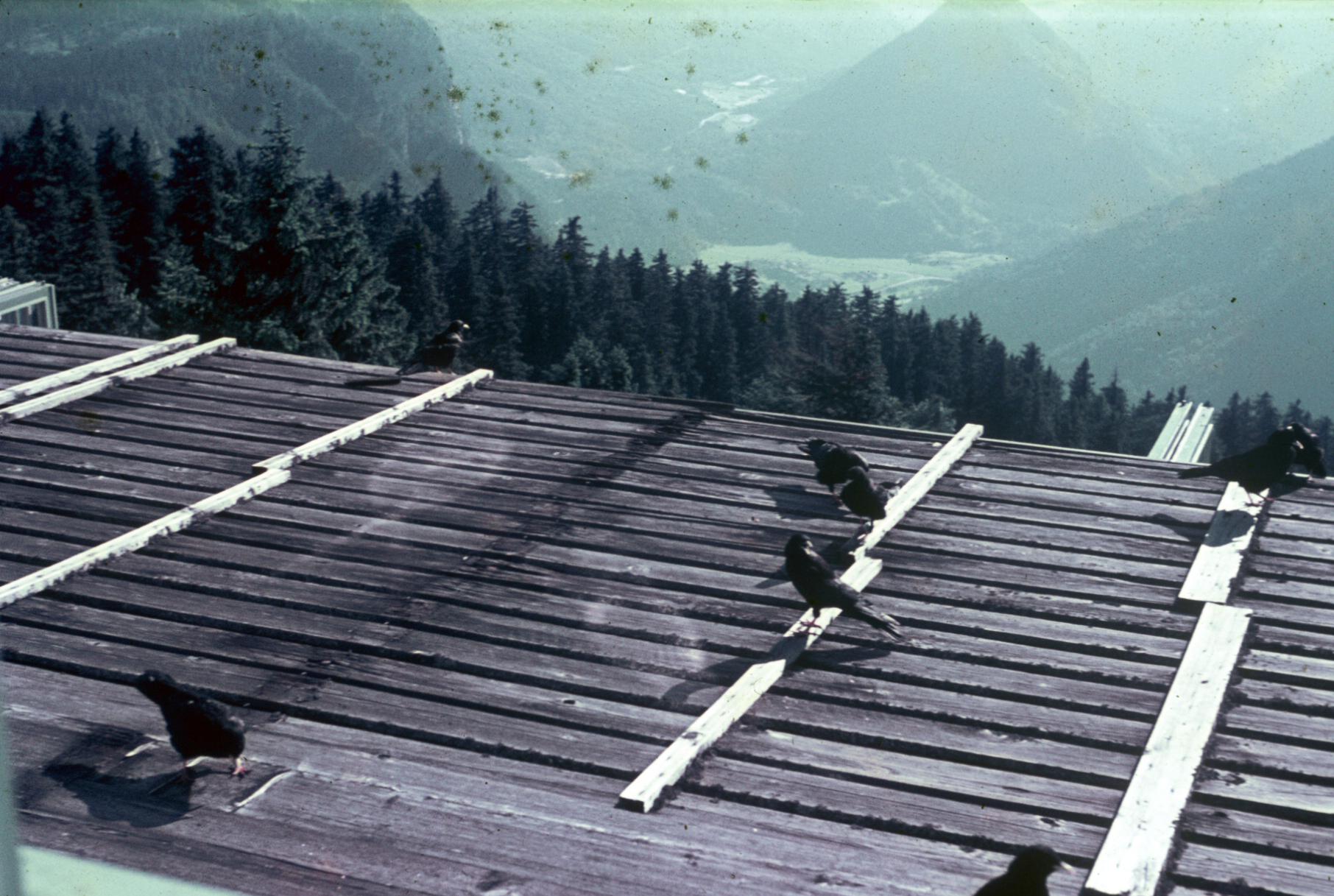 Ravens on roof.